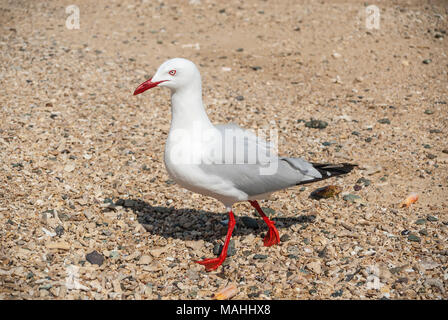 silver gull, Queensland, Australia - Stock Image