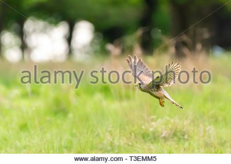 common kestrel (Falco tinnunculus) - Stock Image