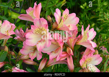 Colourful flower border with a close up of Pink Alstromeria 'Pink Surprise' - Stock Image