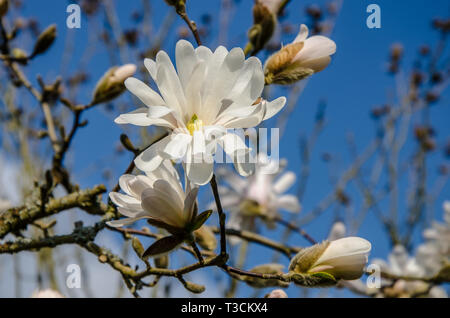 Magnolia is a large genus of about 210 flowering plant species in the family Magnoliaceae. It is named after French botanist Pierre Magnol. - Stock Image