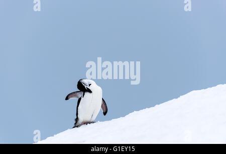 Chinstrap penguin (Pygoscelis antarctica) grooming on snow Half Moon island Antarctic Peninsula Antarctica - Stock Image
