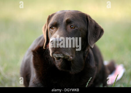 Brown Labrador Retriever lying on grass observing something - Stock Image