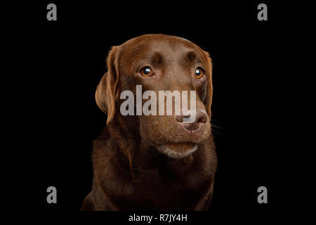 Funny Portrait of Curious Labrador retriever dog Gazing on isolated black background, front view - Stock Image