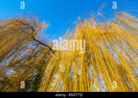Bare Willow tree branches. - Stock Image