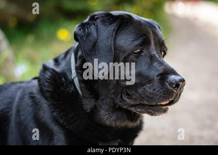 Portrait of a black Labrador Retriever looking on the path on the sunny day in summer - Stock Image