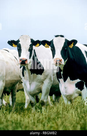 Holstein cows grazing in green pasture, mid July, - Stock Image