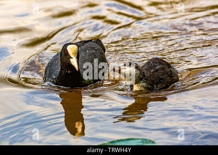 Coots on the water at Himley Hall in Dudley. - Stock Image