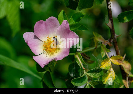 Fly collecting nectar pollen from the centre of a wild Rosa Lyda Rose - Stock Image