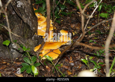 Close up of Omphalotus olearius, known as the jack-o'-lantern mushroom, is a poisonous orange mushroom. South of France, Var. - Stock Image
