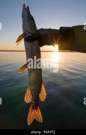 Fisherman holds Northern Pike, Dore Lake, Saskatchewan, Canada - Stock Image