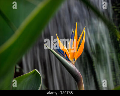 Strelizia reginae 'Bird of paradise' growing in a verdant warm tropical situation with waterfall behind, herbaceous perennial of strelitziaceae genus - Stock Image