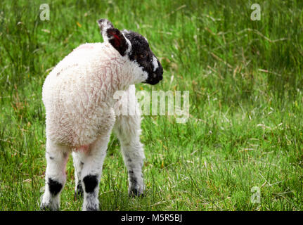 Young lamb in a green field in springtime in the English countryside. Livestock, hill farming. - Stock Image