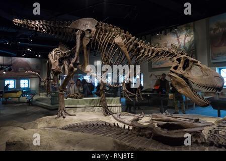 Skeleton of Tyrannosaurus rex in display. The Field Museum, Chicago, Illinois, USA. - Stock Image