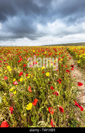The spectacular sight of a field of Common Poppies Papaver rhoeas and Corn Marigolds Glebionis segetum growing on West Pentire in Newquay in Cornwall. - Stock Image