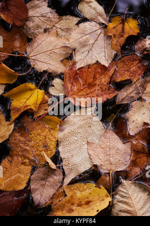 Autumn leaves litter the forest floor in Acadia National Park in Maine - Stock Image