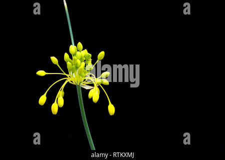 Yellow-flowered Onion, Allium flavum.  July. - Stock Image