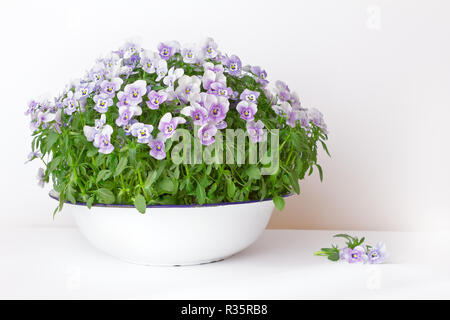Pansy flowers in shades of lilac, violet and blue in a vintage wash basin or bowl on white background, copy or text space - Stock Image