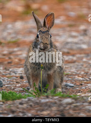 Eastern Cottontail Rabbit (Sylvilagus floridanus) behind a Common Dandelion (Taraxacum officinale) on a gravel driveway in the spring in Michigan, USA - Stock Image