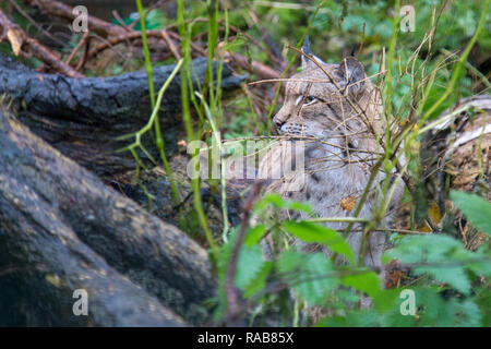 Euraisan lynx lynx lynx in Kadzidlowo Wild Animals Park in Poland - Stock Image