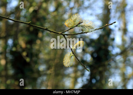 Yellow pussy willow in Spring, Frith Road, Aldington, Ashford, Kent, UK - Stock Image