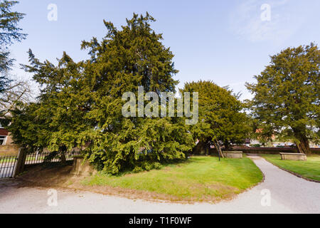 The ancient yew trees the oldest is thought to be 1500-2000 years old one of the seven wonders of Wales at Saint Mary the Virgin Church Overton on Dee - Stock Image