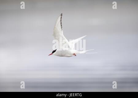 Antarctic tern, Sterna vittata, flying near Isafjordur, Iceland, North Atlantic Ocean - Stock Image