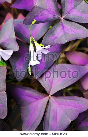 Threeleaf purple shamrock — Oxalis triangularis — with blossoms. - Stock Image