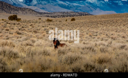 Overview of hIgh desert in Nevada, USA, featuring a brown wild mustang in the distance and plenty of copy space - Stock Image
