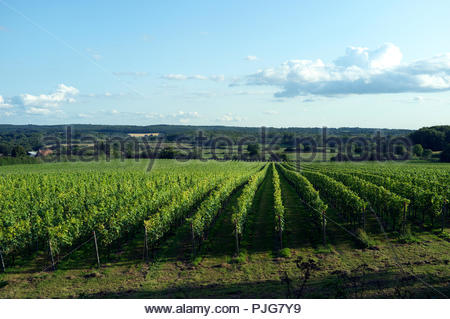 UK Kent wine - Squerryes vinyard in the Kent countryside, near Westerham, Kent, UK. - Stock Image