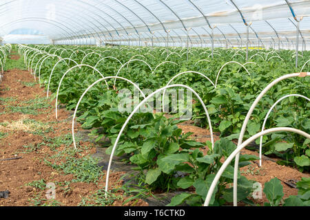 Young plants of eggplant vegetables growing in greenhouse close up, agriculture in Greece - Stock Image
