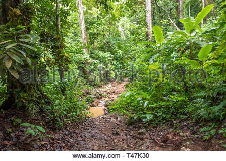 Deep in rainforest  of Puntarenas province, Costa Rican - Stock Image