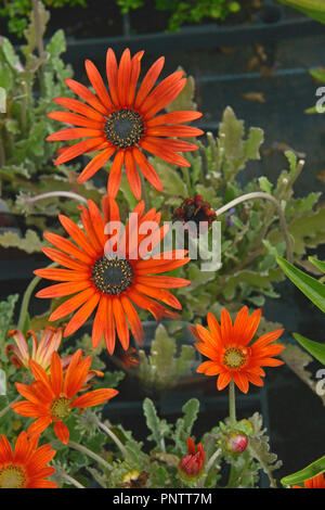 Close up of a potted Arctotis 'Red Devil' African Daisy ready for planting - Stock Image