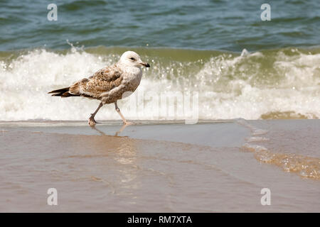 Sea wave and seagull during the walk. These wild birds can often be observed at the Baltic Sea coast in Kolobrzeg, Poland. - Stock Image