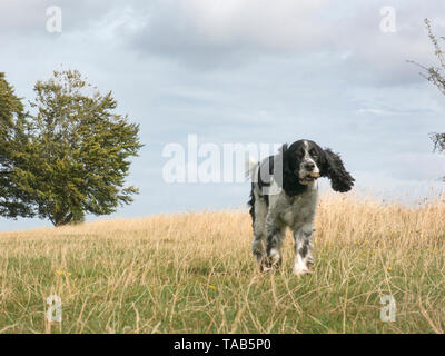 spring spaniel, 10 year old male, running on Farthing Down, Coulsdon, Surrey - Stock Image