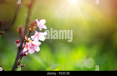 blurred sakura tree twig on green background - Stock Image