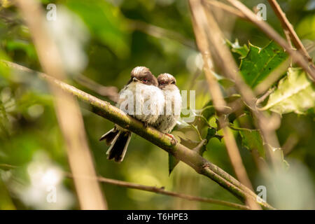 Colour wildlife portrait of two juvenile Long-tailed tits side-by-side (Aegithalos caudatus) which moments before photo had left their nest for the fi - Stock Image