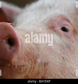 Pig - Close up of pig's face - Stock Image