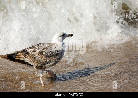 One lonely gull waiting for the attack of the Baltic Sea wave in Kolobrzeg, Poland. - Stock Image