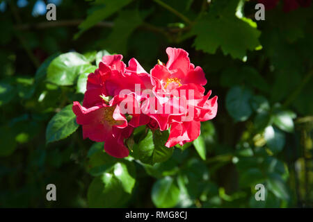 Rose Wild Thing growing in  garden on a summer day Cheshire England - Stock Image