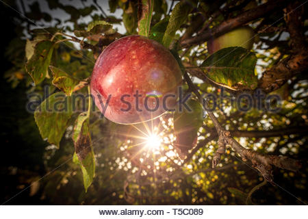 A ripe red apple on a tree - Stock Image