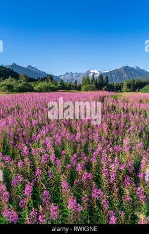 Fireweed (Chamaenerion angustifolium) blooms in a meadow, Mendenhall Glacier and Towers in the background, Southeast Alaska - Stock Image