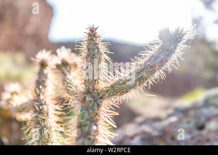 Closeup of Cane Cholla cactus and backlight sunlight flare in Main Loop trail in Bandelier National Monument in New Mexico in Los Alamos - Stock Image