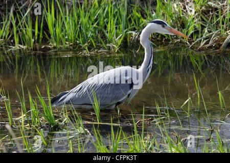 Grey heron wading in river, Feltham Park, London - Stock Image