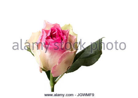 pink and white special flower white background - Stock Image