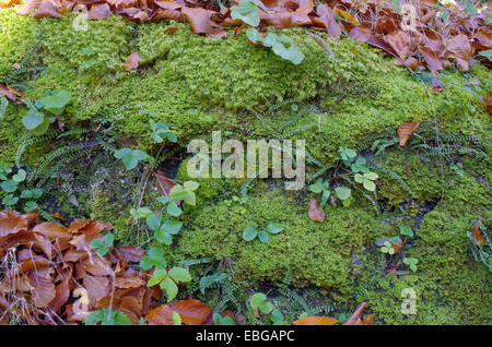 Moss and fallen leaves. Autumn still life. - Stock Image