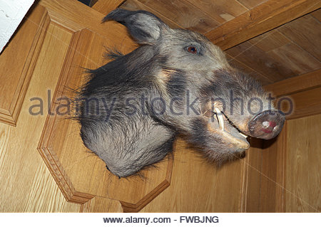 Head of a wild boar / hog animal mounted on the wall of a Lichfield pub. Staffordshire, UK. - Stock Image