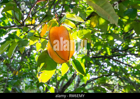 Star fruit or Carambola growing on a tree - Stock Image