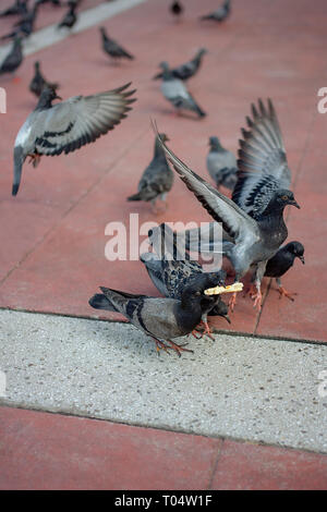 Dirty Pigeons aka Rats of the sky battle for scraps on the pavement. - Stock Image