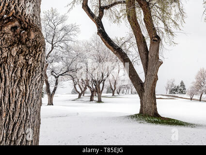 Fremont Cottonwood trees with spring leaves in fresh May 9th springtime snowstorm; Salida; Colorado; USA - Stock Image