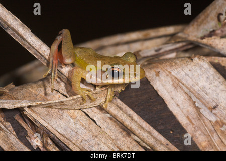 Dark-eared Tree Frog Polypedates macrotus - Stock Image